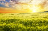 pic of meadows  - Meadow of wheat on sunset - JPG