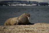 Walrus with half-closed eyes on shingle beach