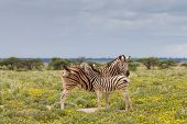 Young Zebra And Her Mother