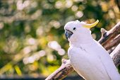 Close Up Of Yellow Crested Cockatoo With Blurred Foliage Background