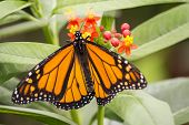 pic of monarch  - Closeup image of a pretty monarch butterfly - JPG