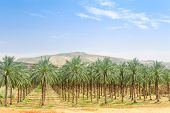 Date Palm Orchard Plantation Oasis In Middle East Desert