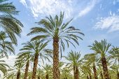 High Figs Date Palm Trees In Middle East Orchard
