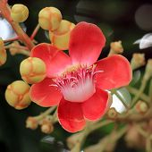 foto of cannonball-flower  - closeup of the beautiful cannonball tree flower - JPG