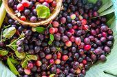 Karanda Fruit, Carissa Carandas L