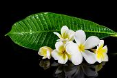 stock photo of champa  - Beautiful frangipani flower isolated on black background - JPG