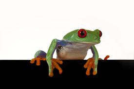 stock photo of red eye tree frog  - Black Board frog - JPG