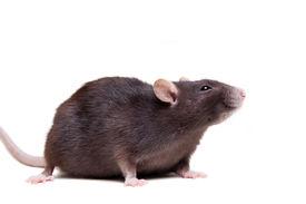 stock photo of rats  - Rat - JPG