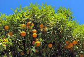 picture of orange-tree  - Orange tree with fruits on the street in city of Nice France - JPG