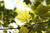 Spring maple leaves