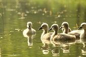Cygnets in a forest pond