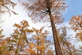 Larch Trees In Autumn Over Blue Sky