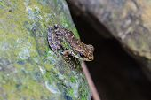 Frog On A Wet Stone