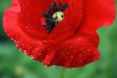 Poppy Flower In The Dew
