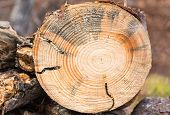 stock photo of larva  - Fallen pine tree cut with chainsaw exposes tunnels created in the wood by Round Headed Borer larva in North Carolina - JPG