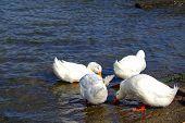 Duck Meeting