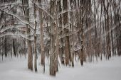 Abstract motion blur of winter pine forest tree trunks during snowstorm created by camera movement