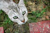 Close Up Of Grey Cat Looking Upwards