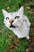 Grey Cat Looking Upwards