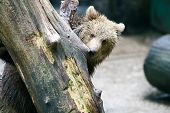 Bear Peeking Behind Tree In Zoo