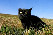 Black Cat With Damaged Ear On Meadow