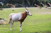 Scimitar horned oryx.