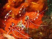 Coral shrimp