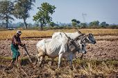 MYANMAR - JANUARY 6, 2014: Unidentified Burmese peasant plowing up field with ox. Agriculture in Burma is the main industry accounting for 60% of the GDP and employing some 65% of the labor force