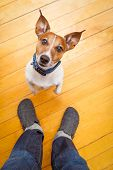 image of begging dog  - jack russell dog ready for a walk with owner begging sitting and waiting on the floor inside their home - JPG