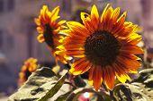 stock photo of sunflower  - Bright yellow sunflowers and sun - JPG