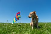 stock photo of cross-breeding  - Brown cross breed dog laying in grass at Dutch wadden island Terschelling - JPG