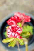 picture of desert-rose  - Adenium obesum  - JPG