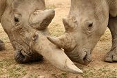 pic of mating  - White rhinoceros horn battle for mating rights - JPG
