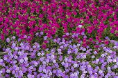 stock photo of geranium  - Geraniums flowers carpet  - JPG