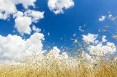 foto of cumulus-clouds  - Snow White cumulus clouds on rich aero blue color sky high up over ripening oat cereal ears farm field - JPG