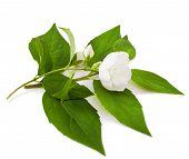 foto of jasmine  - jasmine blossom isolated on a white background - JPG
