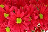 Bunch Of Red Chrysanthemum Daisies