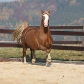 foto of arena  - Gorgeous welsh cob running in arena with autumn background  - JPG