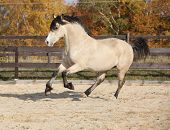 image of arena  - Gorgeous welsh cob running in arena with autumn background  - JPG
