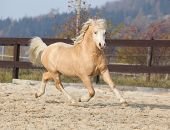 stock photo of arena  - Gorgeous welsh mountain pony running in arena with autumn background  - JPG