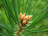 stock photo of fir  - This is green branch of fir - JPG