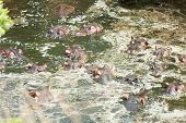stock photo of bathing  - Hippopotamus enjoying bathing in water during the hot day in Masai Mara Kenya - JPG