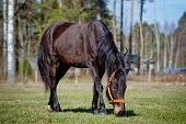 picture of horses eating  - beautiful brown horse eating grass outdoors in spring - JPG