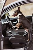 foto of bull-riding  - black bull terrier dog sitting in a car - JPG