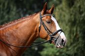 foto of girth  - Chestnut sport horse portrait during competition in dressage - JPG