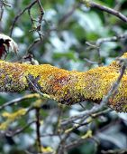 foto of fungus  - Tree branch with yellow and orange moss fungus - JPG