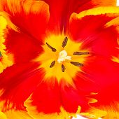 picture of parrots  - Close up of yellow and red parrot tulip flower center - JPG