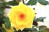 picture of yellow rose  - Yellow rose - JPG