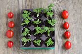stock photo of tomato plant  - seedling plants cherry tomatoes and tomato fruits - JPG