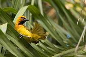 picture of spectacles  - A male Spectacled Weaver  - JPG
